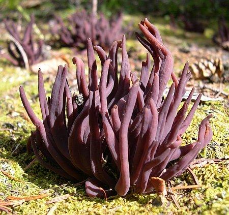 Alloclavaria purpurea