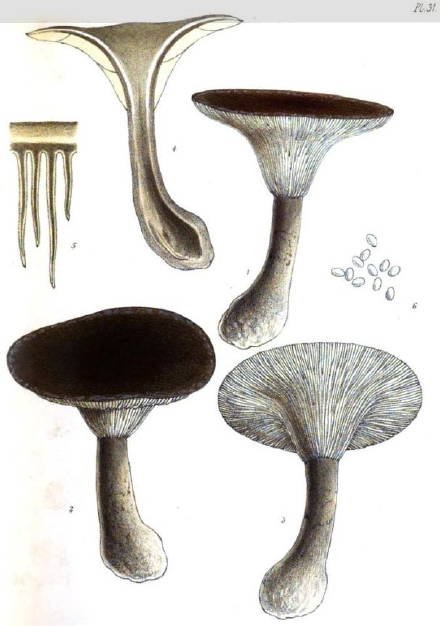 Ampulloclitocybe clavipes Drawings