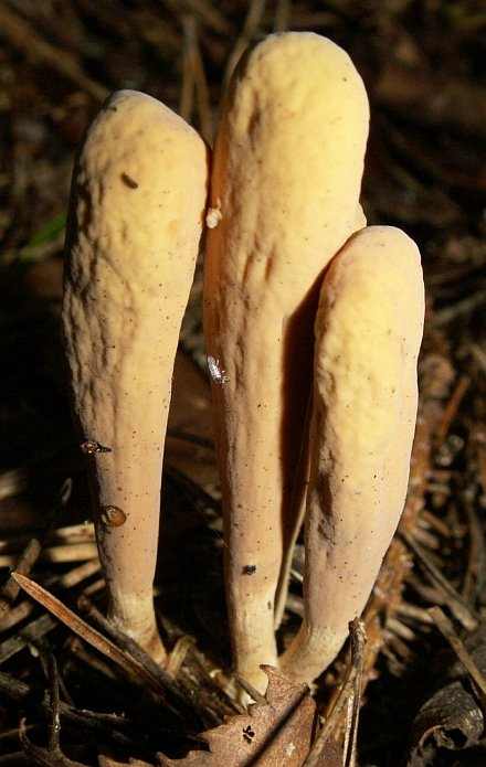 Clavariadelphus ligula