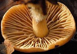 Gymnopus peronatus Gills