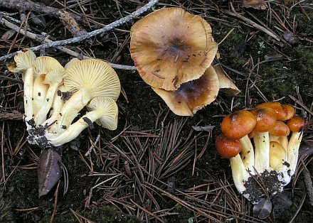 Hygrophorus hypothejus young and old