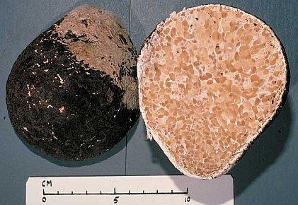 Laccocephalum mylittae