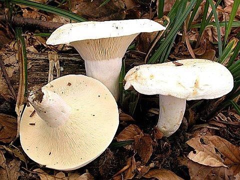 Lactarius piperatus