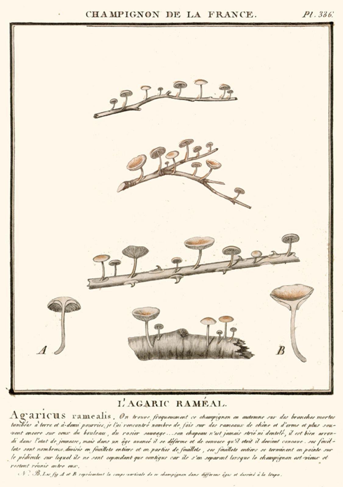 Marasmiellus ramealis