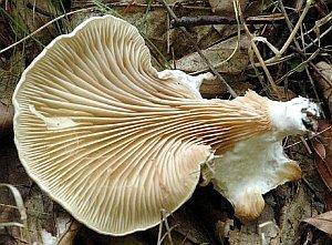 Pleurocybella porrigens Gills