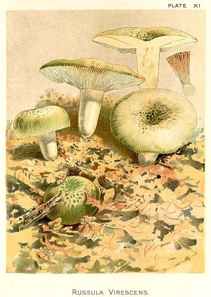 Russula virescens Drawing