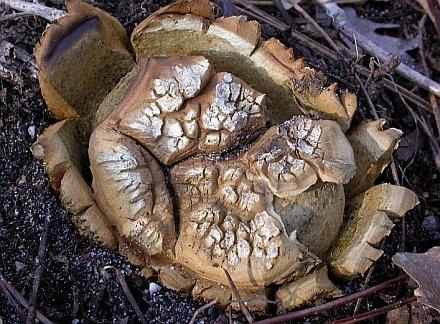Scleroderma polyrhizum