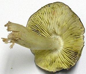 The gills of Tricholoma sejunctum