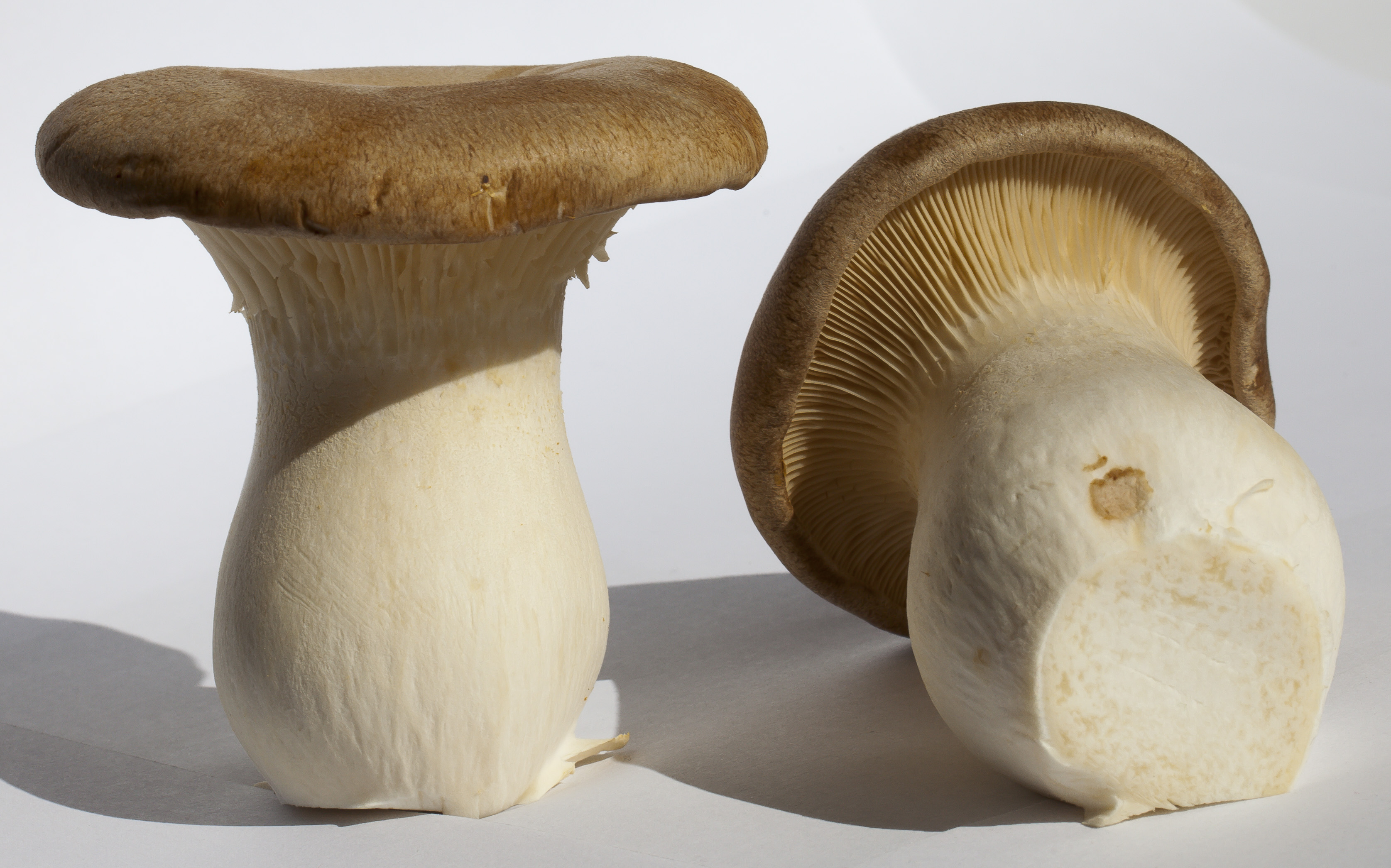 Pleurotus eryngii king oyster mushroom
