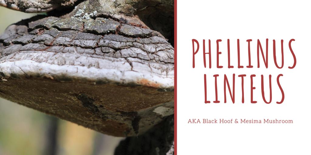 Phellinus linteus