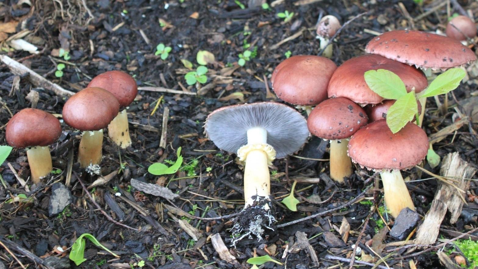 Wine Cap Mushroom