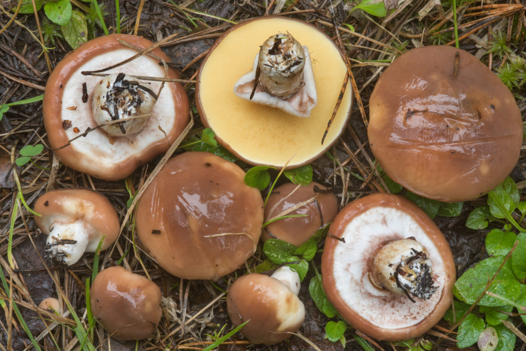 Suillus Luteus or Slippery Jack