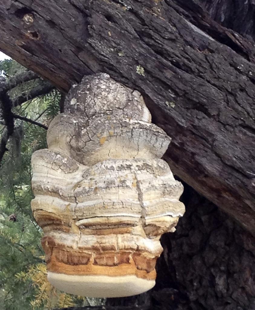 Agarikon Mushroom Growing on a Tree