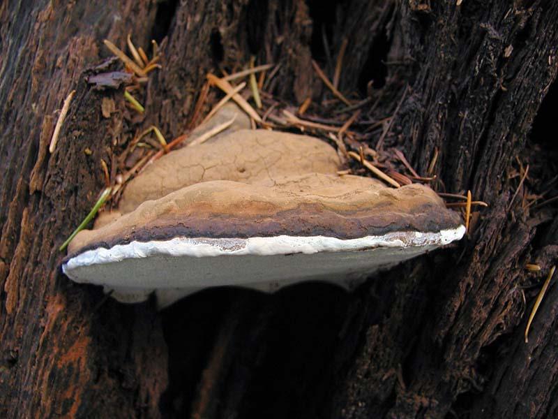 Ganoderma Applanatum