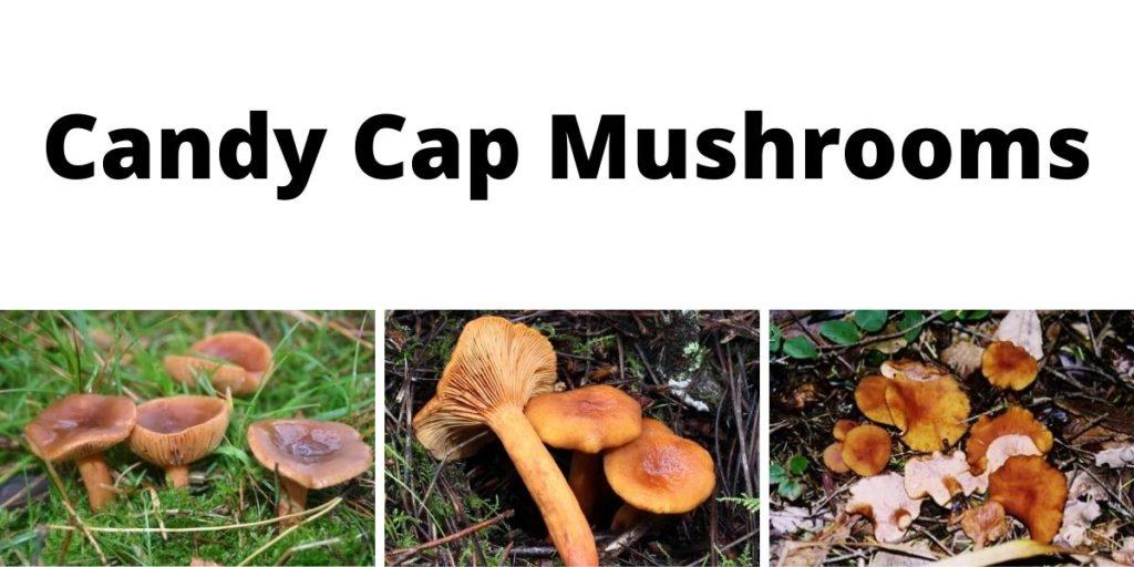 Candy Cap Mushrooms