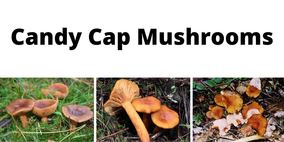 Candy Cap Mushrooms