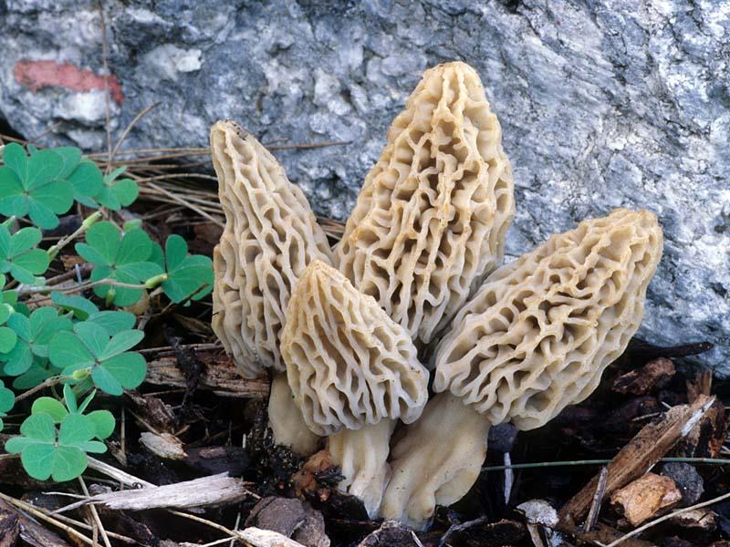Morchella rufobrunnea