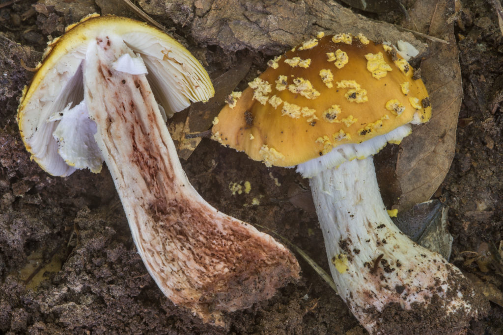 Amanita Flavorubens