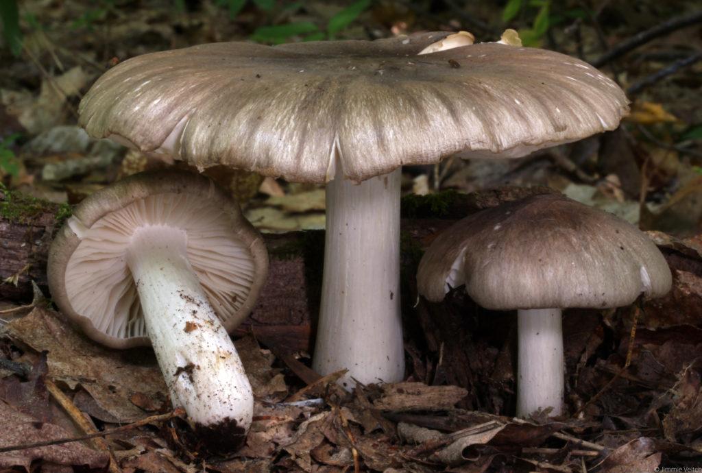 Megacollybia Rodmanii