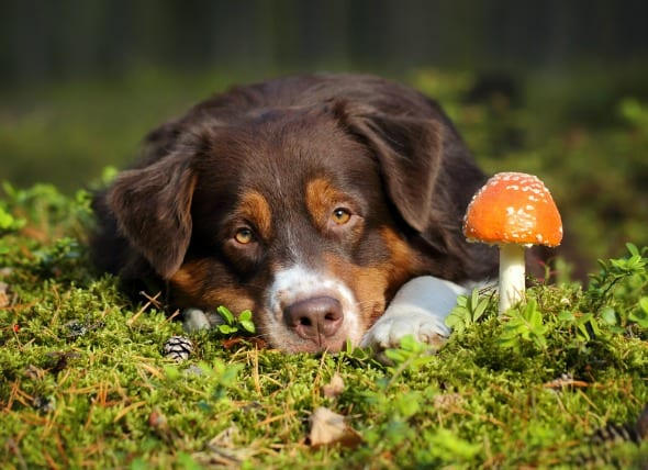 mushrooms for dogs
