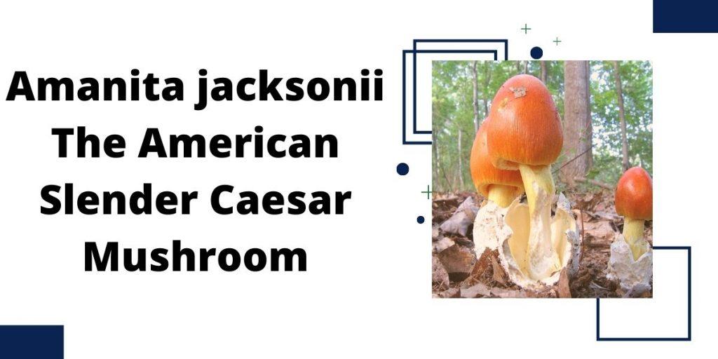 Amanita jacksonii