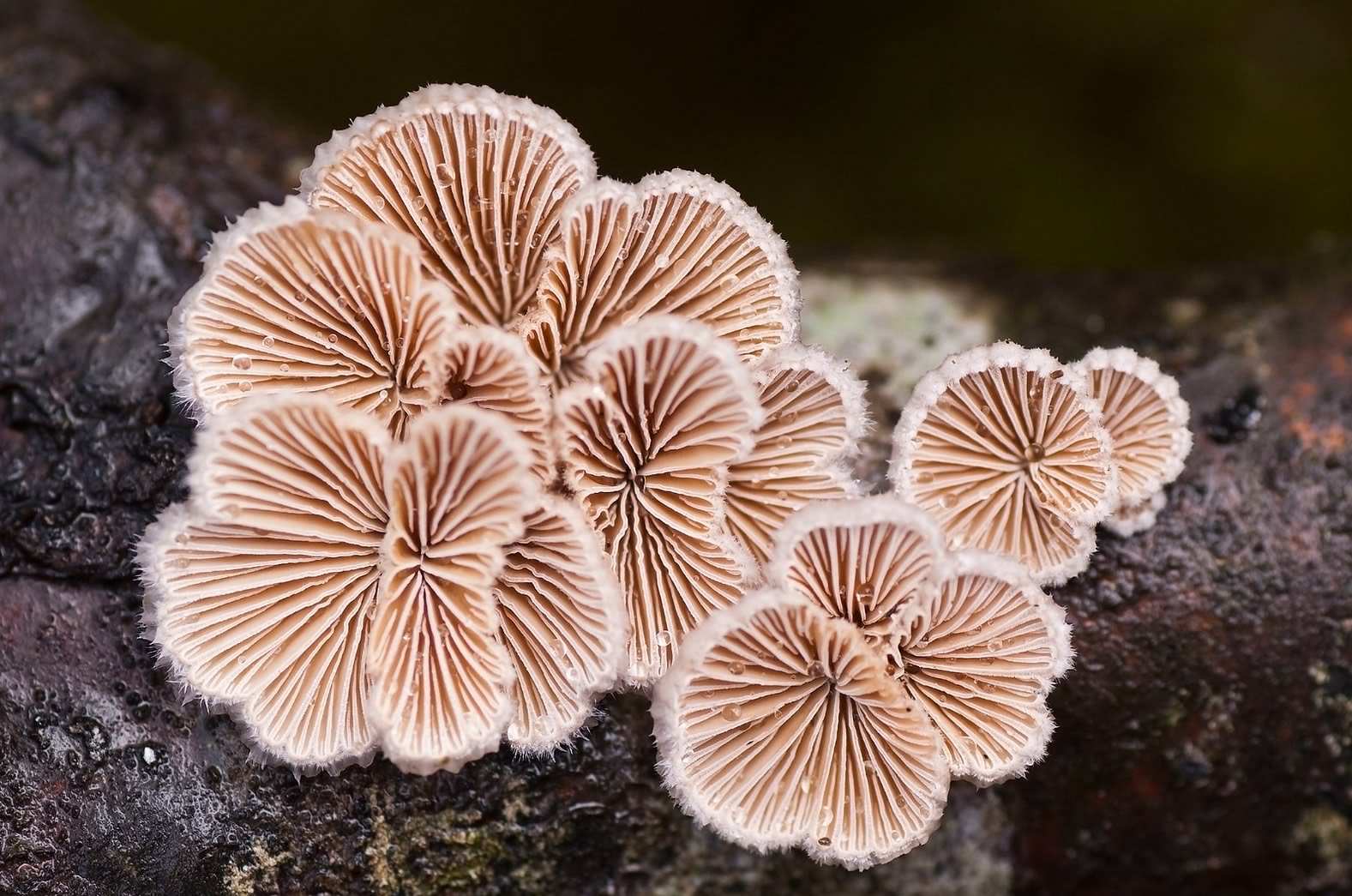 Schizophyllum commune Split Gill