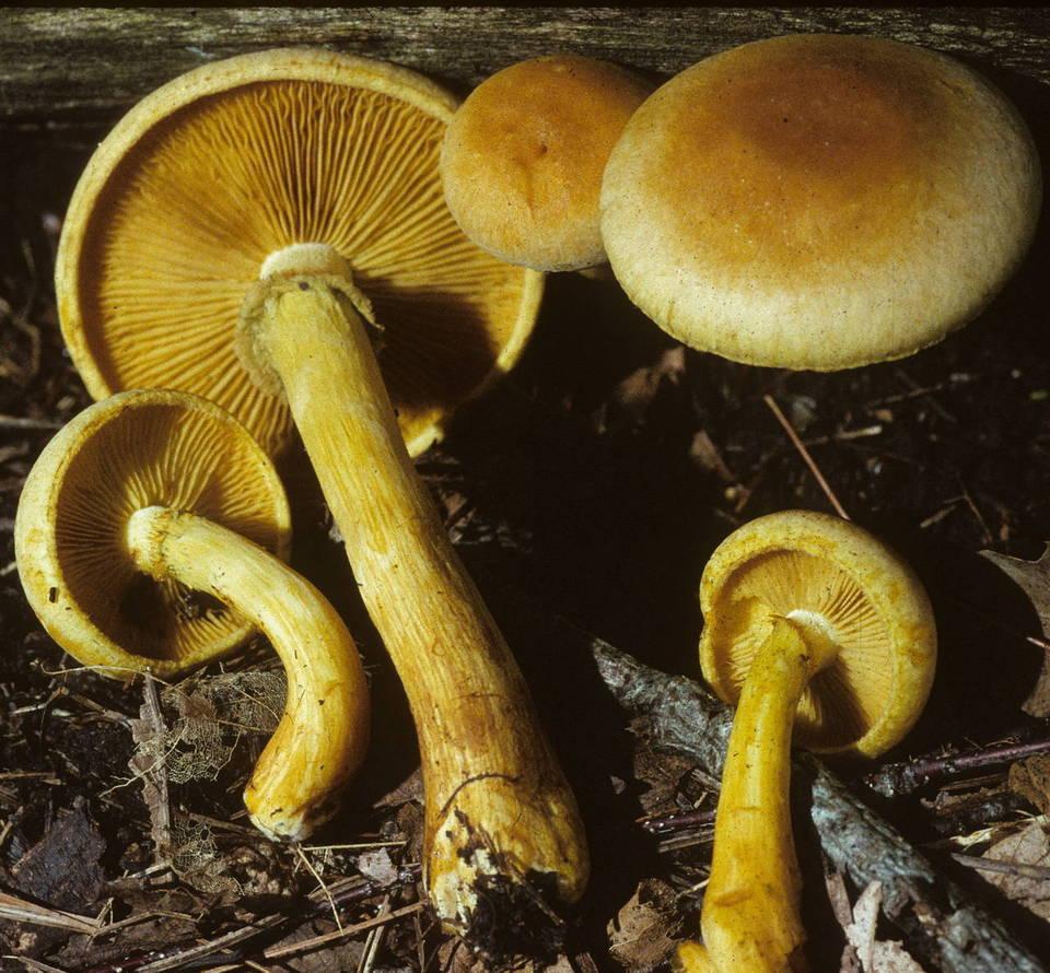 Gymnopilus luteus