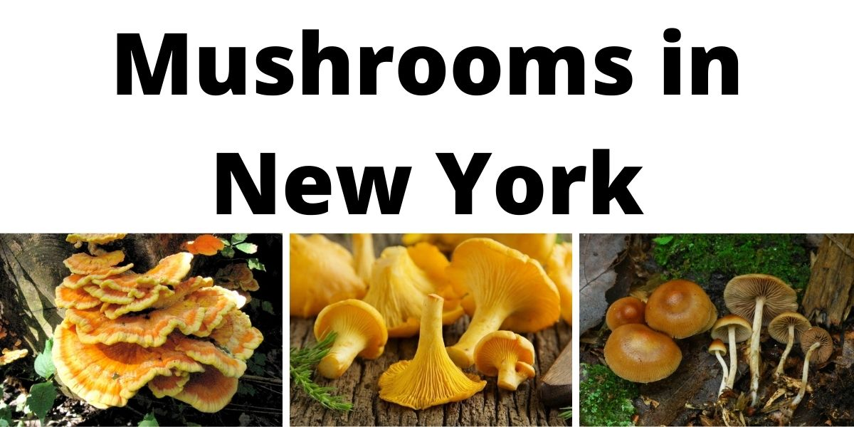 Mushrooms in New York